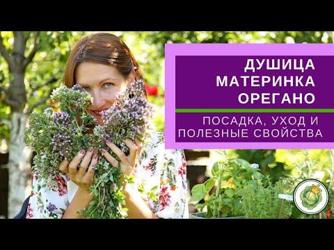 ДУШИЦА (орегано) - трава долголетия, женская трава// Полезные свойства, выращивание и применение