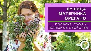 ДУШИЦА орегано - трава долголетия женская трава Полезные свойства выращивание и применение