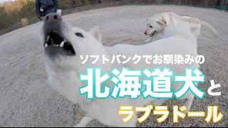 最近朝の散歩でよく会う北海道犬の五郎ちゃんです。甘えた声がめっちゃ...