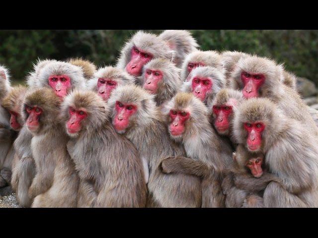 日本獼猴社交之「癢」