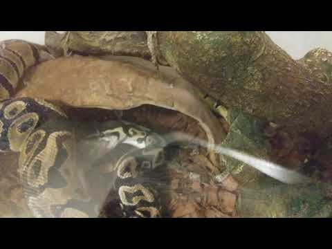 Live Feeding Ball Python Iris (strike, Constricted, Consuming)