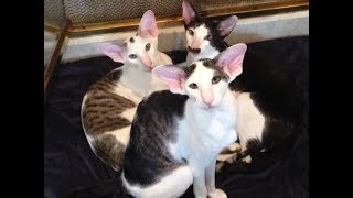 What's it like to live with Oriental Shorthairs?