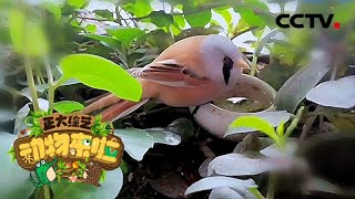 [正大综艺·动物来啦]文须雀通常会在哪里营巢| CCTV