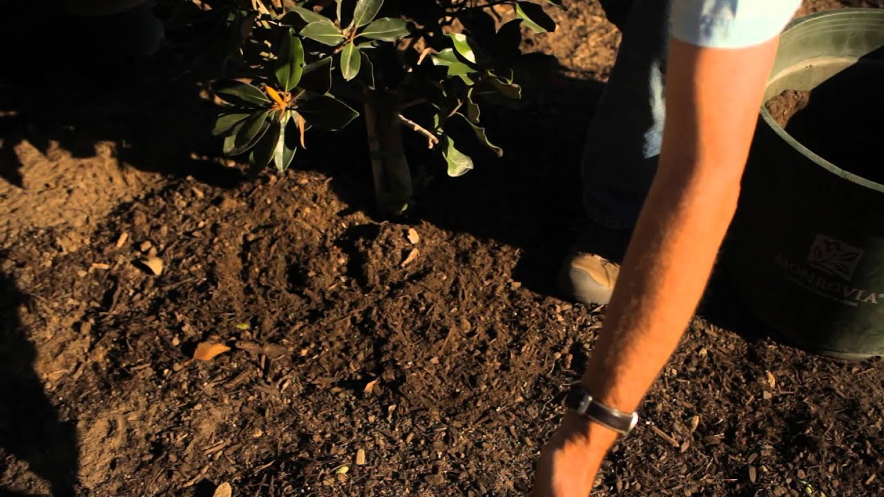 Fertilizing Magnolias Garden Savvy Youtube