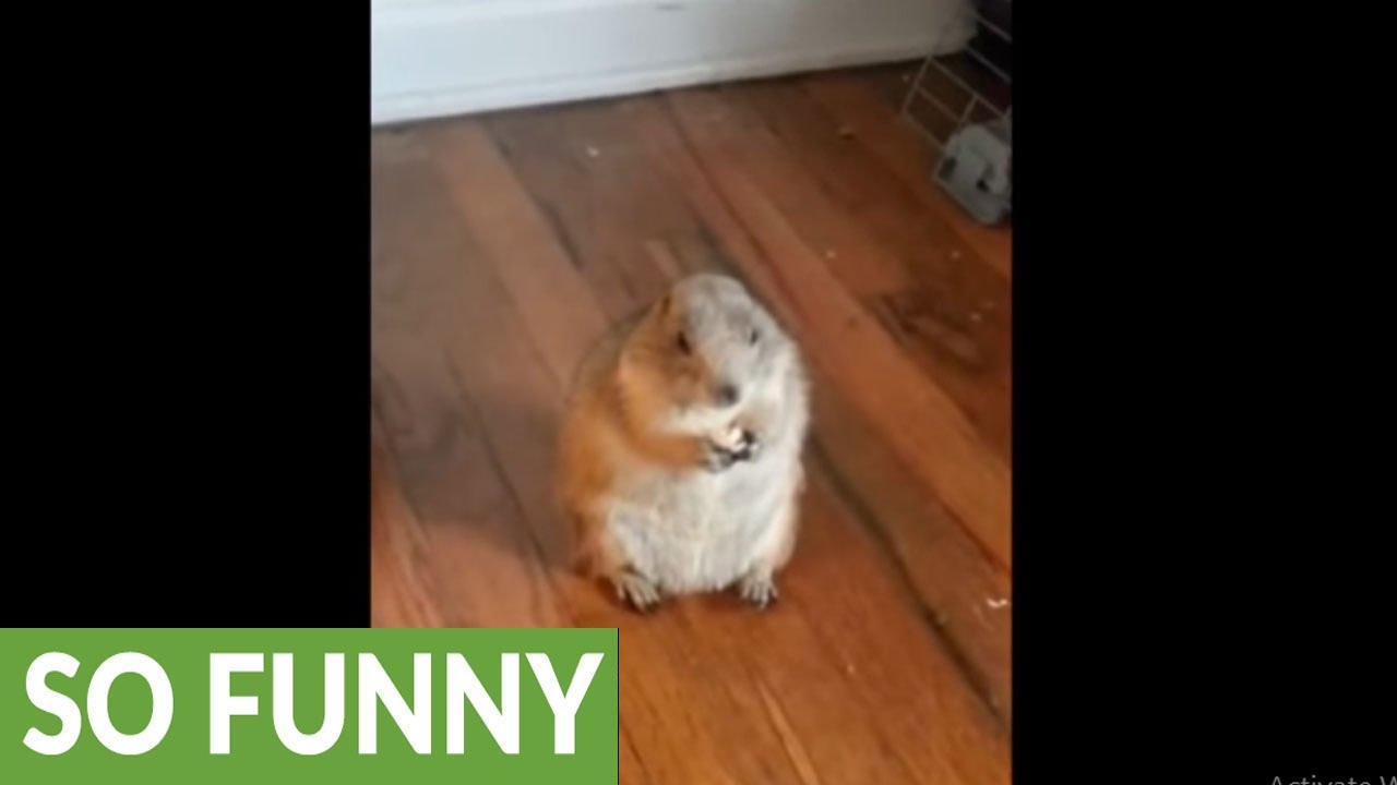 Pros And Cons Of Owning A Prairie Dog Youtube