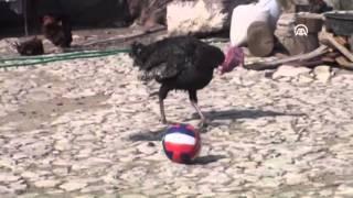 «ديك رومي» يقوم بحركات رياضية في تركيا « فيديو »