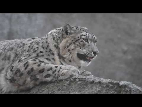 Как мяукает снежный барс. Snow leopard meows
