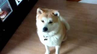 Training An Akita Puppy(remos)