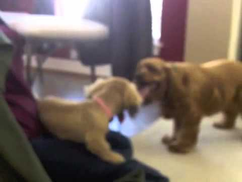 four month old miniature dachshund meets a year-old cocker spaniel