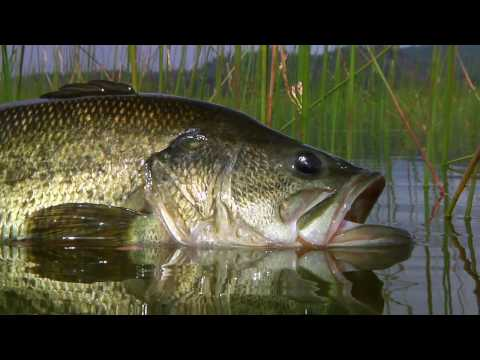 Bass fly fishing by todd moen youtube for How to fly fish for bass