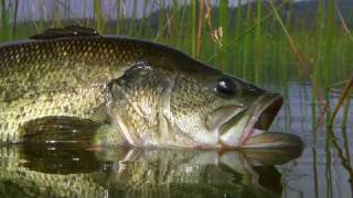 Bass Fly Fishing By Todd Moen(Click Here To Subscribe ▻http://goo.gl/9Z5dTu Alpine Bass - Bass fishing with a top water flies in a remote alpine lake does't get any better. Watch largemouth ..., 2009-08-05T17:57:01.000Z)