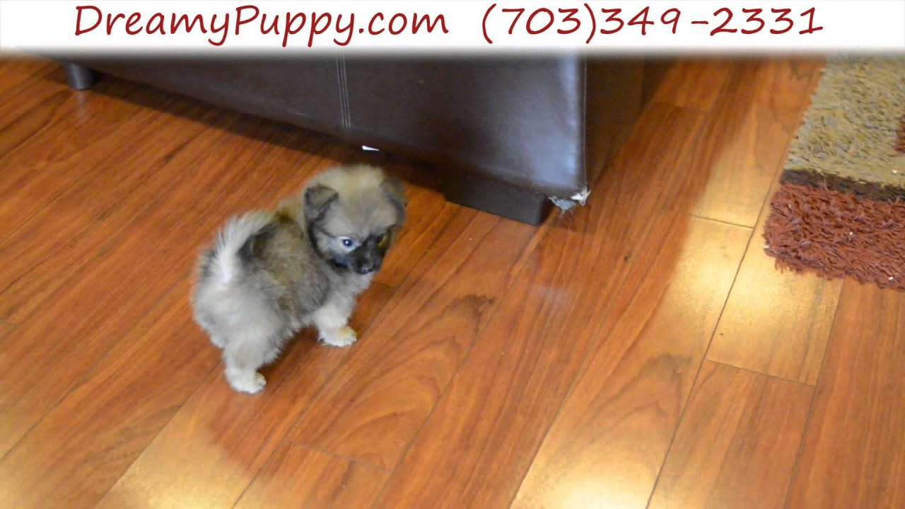Super Cute Teacup Pomchi Female Puppy Youtube