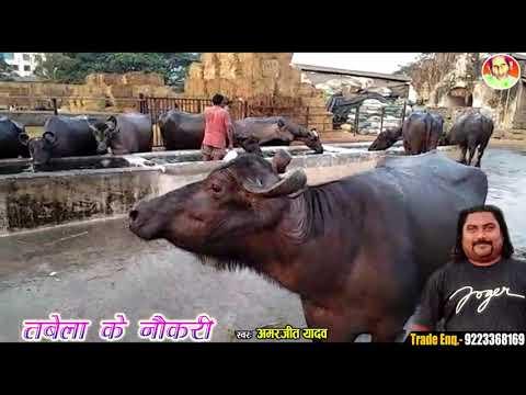 Pandhari Khalifa Ka बिरहा तबेला की नौकरी मुंबई 9223368169