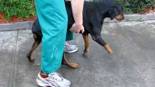 Tatraparetic Doberman Preop.avi