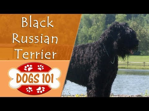 Dogs 101 - BLACK RUSSIAN TERRIER - Top Dog Facts About the BLACK RUSSIAN TERRIER
