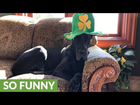 Festive Great Dane models St Patrick's Day shamrock hat