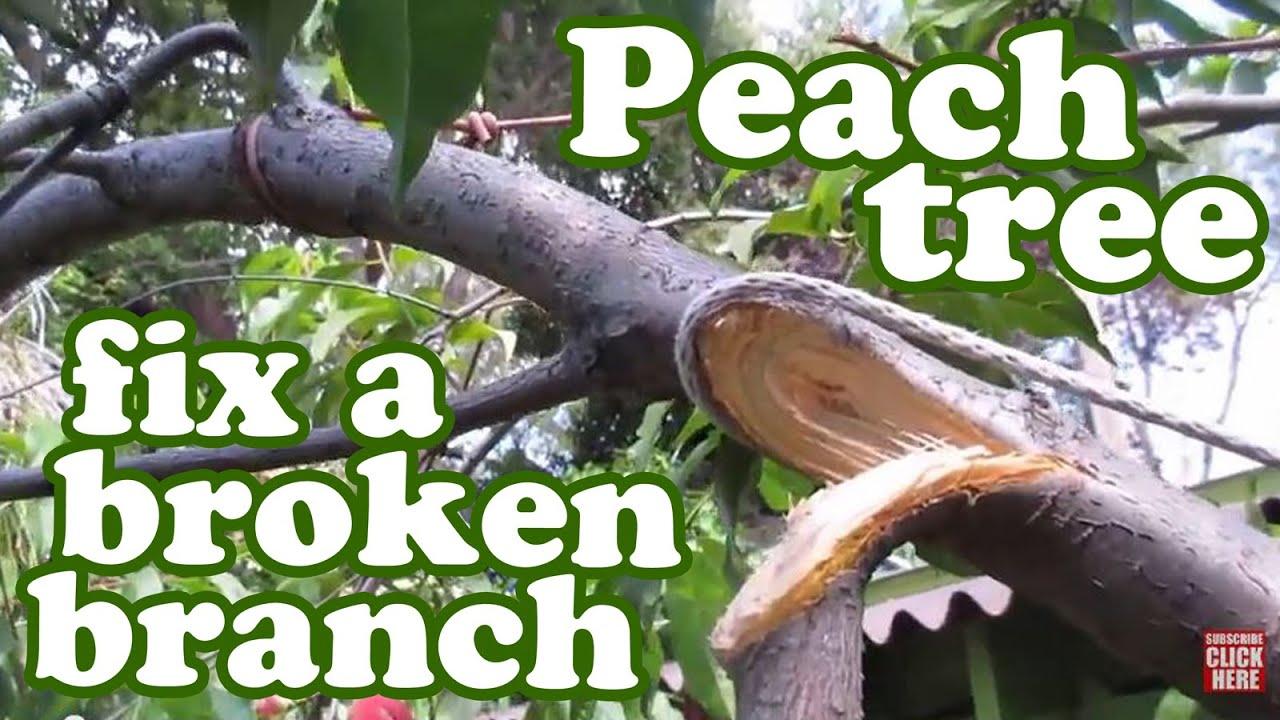 Peach Tree Staking Repair Broken Branch Planting Fruit