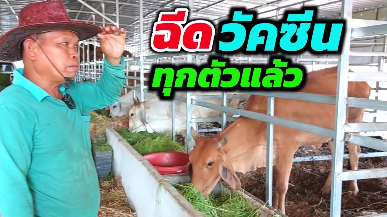 เพชรน้ำหนึ่งฟาร์ม ฉีดวัคซีนลัมปีสกินครบทุกตัวแล้ว ตอนนี้วัวเป็นยังไงบ้าง? แค่ 1 เดือน ฟาร์มเปลี่ยนไป