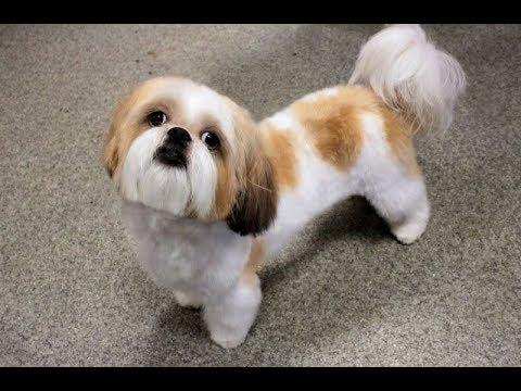 картинки собаки ши тцу