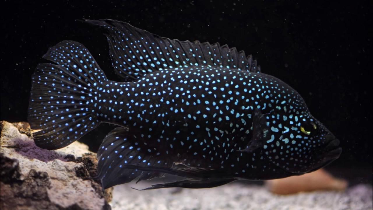 Top 20 peces agresivos para tu acuario agua dulce youtube for Peces agua dulce