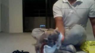 Toy Schnauzer Puppy Named Walle