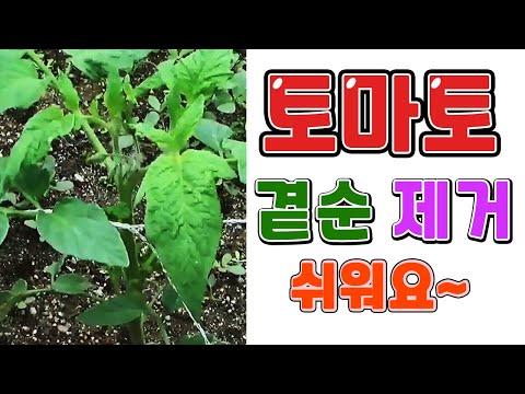 토마토 곁순 제거 순치기하는 이유 및 방법 -
