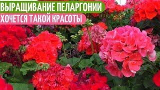 ПОСЕВ Семян ПЕЛАРГОНИИ Из ИСПАНИИ. Мои цветы. Мой опыт.