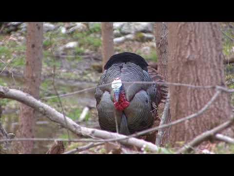 NY 2018 Spring Turkey Hunt