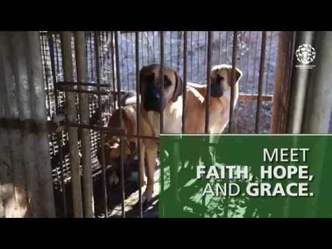 Rescued from a dog meat farm: Meet Faith, Hope and Grace