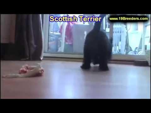 Scottish Terrier, Puppies, For, Sale, In,Omaha ,Nebraska, NE,Lincoln, Bellevue, Grand Island