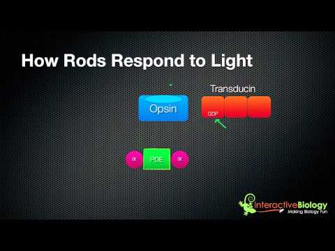 031 How Rods and Cones respond to Light