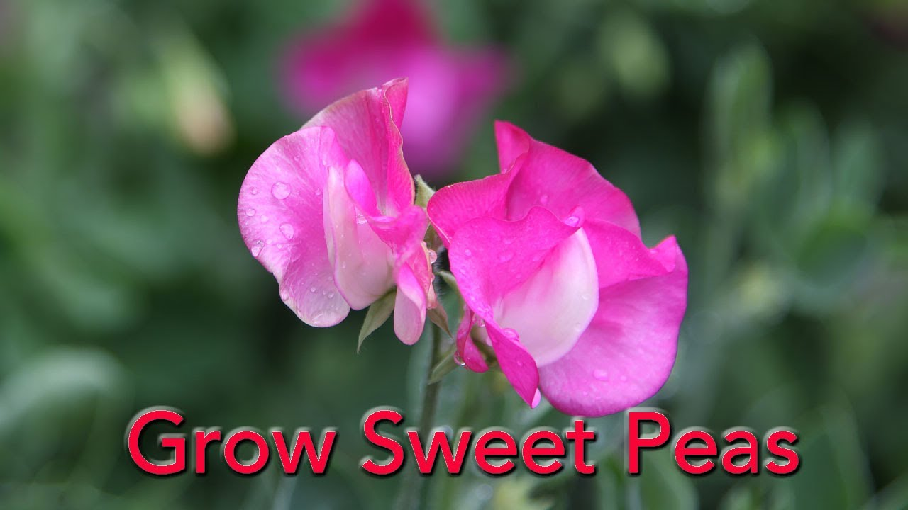 How To Grow Sweet Peas From Seed Youtube