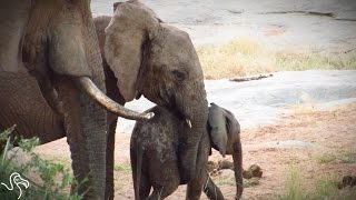 Lost Baby Elephant Finally Finds Mom
