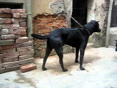 Phu Quoc Dog