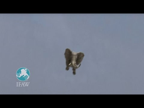 """IFAW """"Amazing Jumbo Elephant Landing"""""""