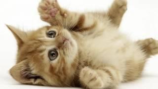 Мой любимый Филя. Шотландские коты и кошки,о породе