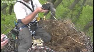 Rescue of Minnesota Eaglet