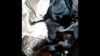 Собаки будят