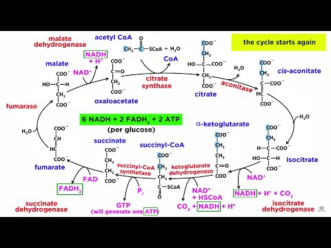 Cellular Respiration Part 2: The Citric Acid Cycle