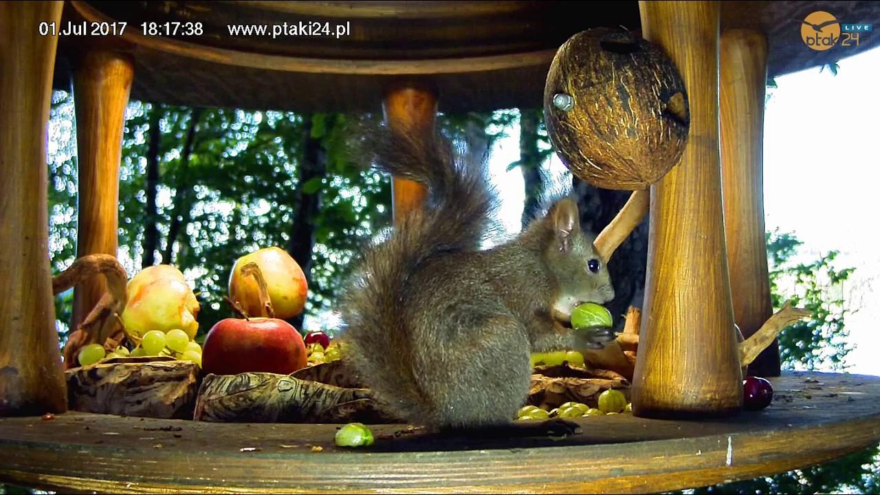 Wiewiórka zajada agrest w karmniku nad Soliną