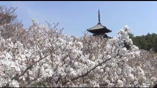 世界遺産 仁和寺の御室桜 World heritage