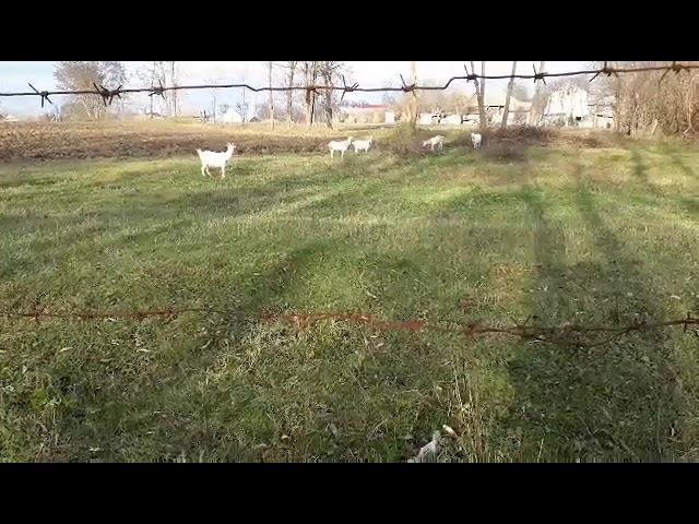 Молдован и коза (Moldovan and goat)