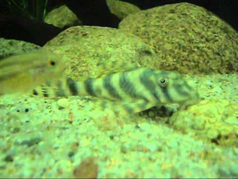 Microglanis Iheringi (Bumblebee Catfish)