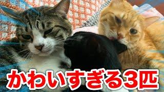 実家に住む3匹のカワイイ猫たちを紹介してやんよ!!