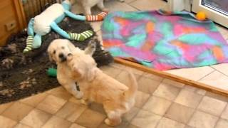 Happy Paw B-wurf Golden Retriever Welpen Spielen Drinnen Am Tag 36.mov (video 14)