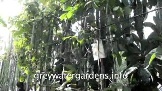 Grey water for urban fruit trees --- a cheap hydroponic garden