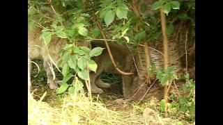 札幌市円山動物園のシンリンオオカミ、キナコ(メス10歳)生後48日目の...