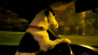 Jack Russell Terrier Drive A Car Szczecin Sloneczne