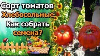 🍅Как собрать семена помидор. Сорт томата