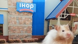 Hamster eating pancakes at the IHOP Restaurant !